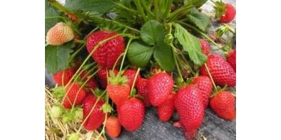 Купить рассаду клубники (земляники)